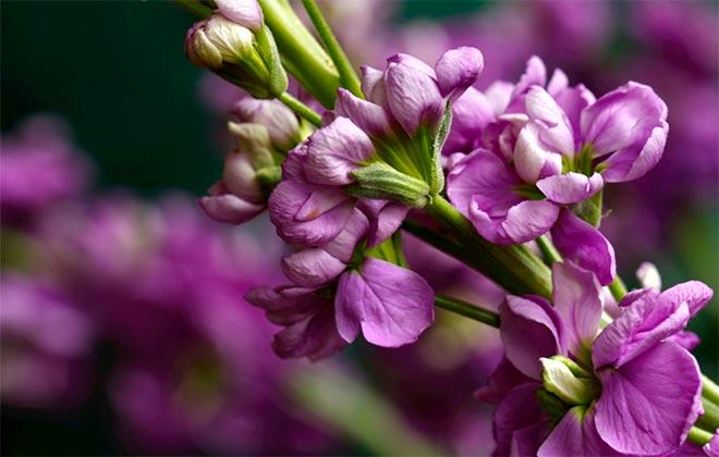 Маттиола цветок