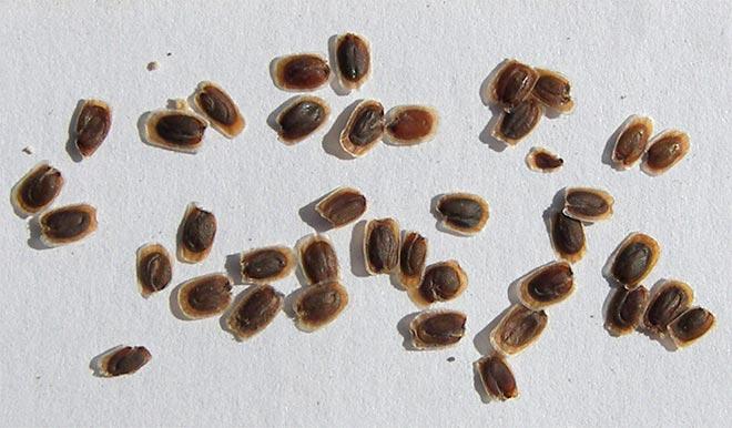 Семена левкоя