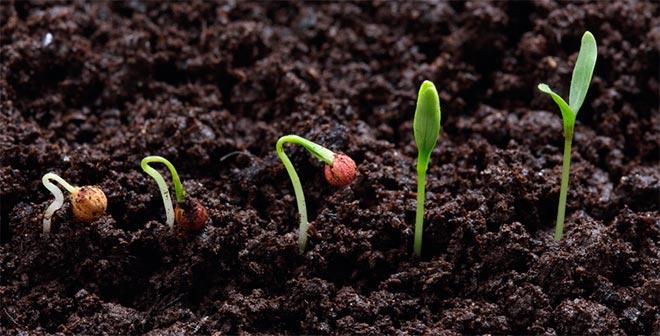 Проращивание петрушки
